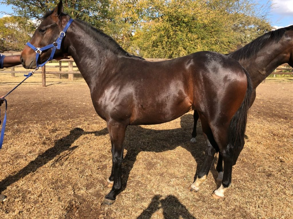 Lot 130 - KZN Yearling Sale - horse purchased by the Hollywood Syndicate