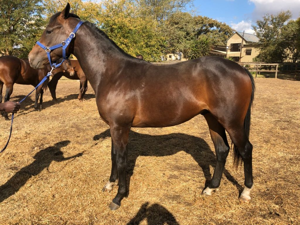 Lot 141 - KZN Yearling Sale - horse purchased by the Hollywood Syndicate