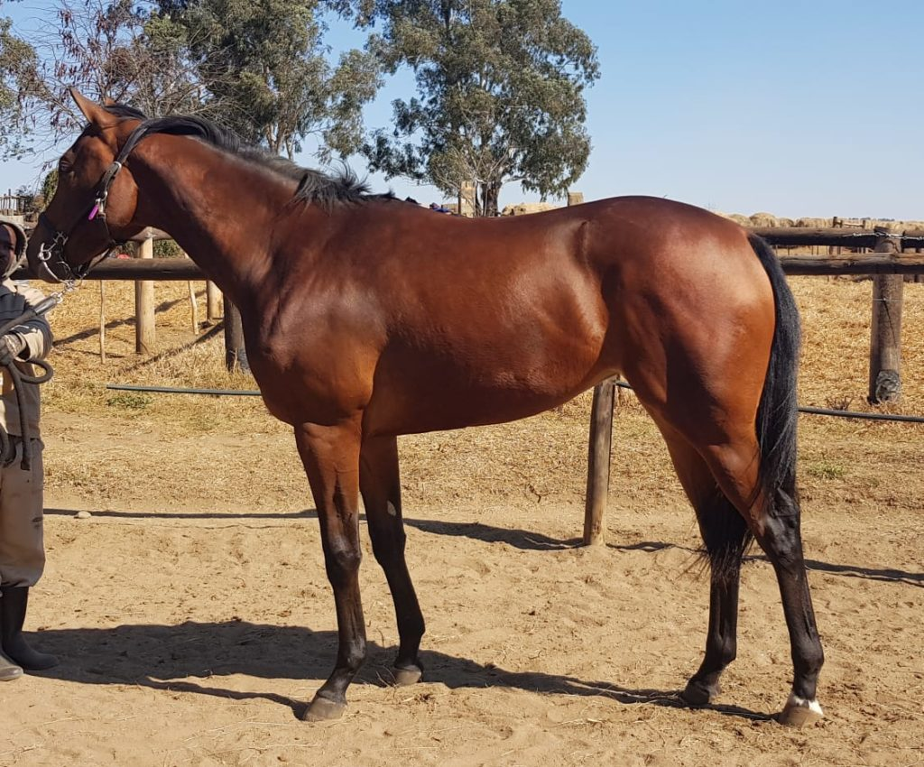 Horse - Lot 16 - KZN Yearling Sale - SIMPLY RUSSIAN - purchased by Hollywood Syndicate