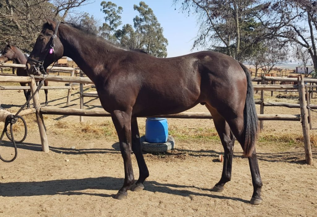 Lot 196 - KZN Yearling Sale - horse purchased by Hollywood Syndicate