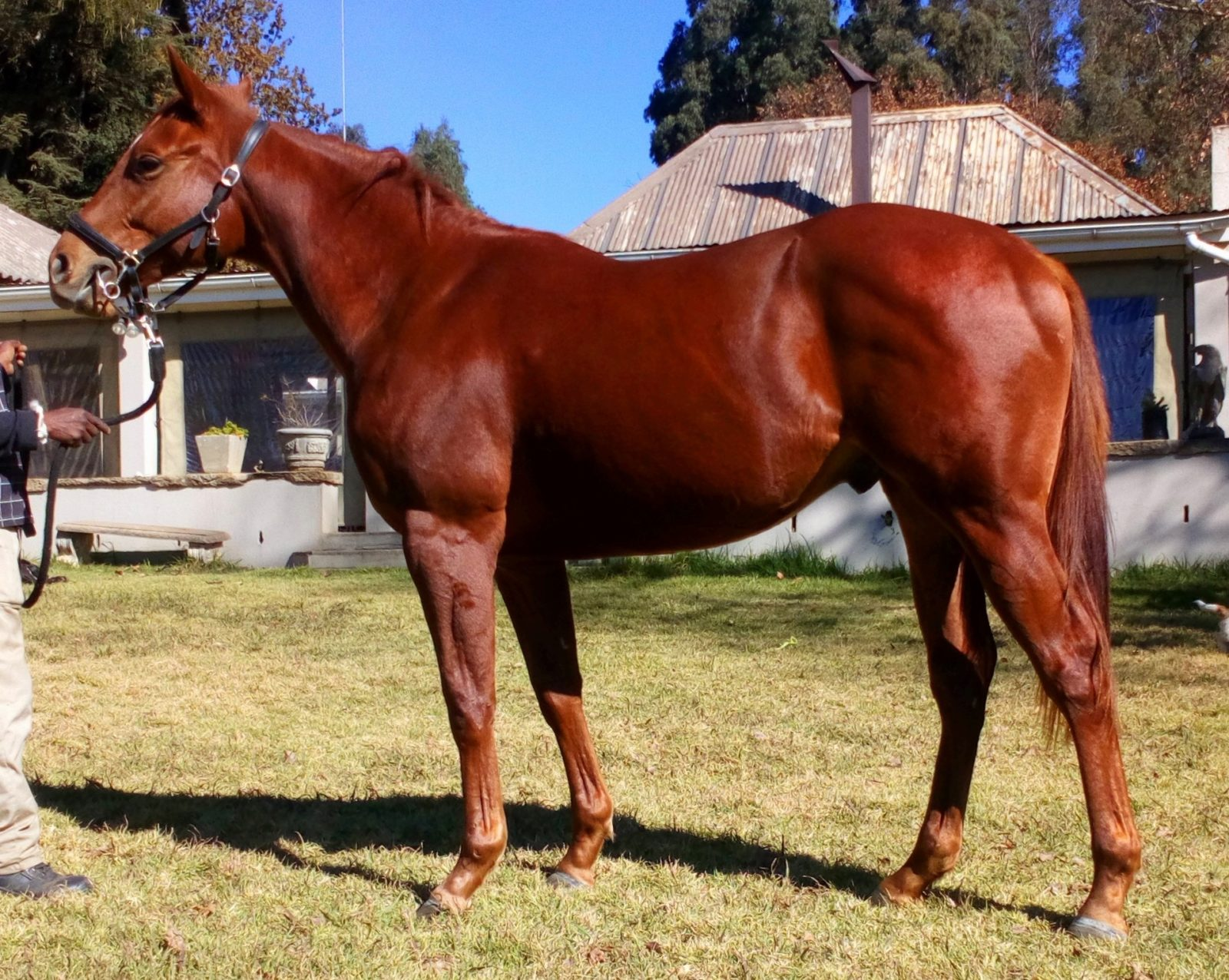 Muster Up. Sired by Silvano, out of the dam Mocha Java. Bred by Maine Chance Farms. Horse owned by Hollywood Syndicate.