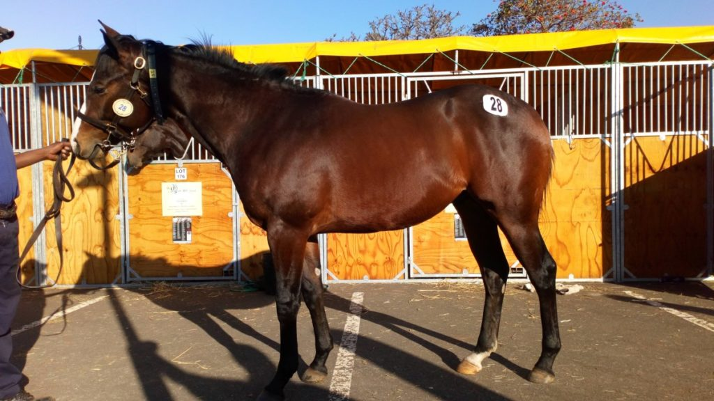 Lot 28 - KZN Yearling Sale - BLOW ME DOWN - horse purchased by Hollywood Syndicate
