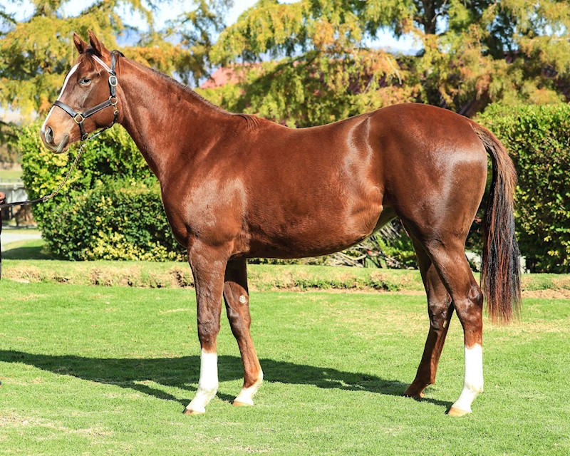 Horse - Sashay Away - Filly owned by the Hollywood Syndicate - profile shot
