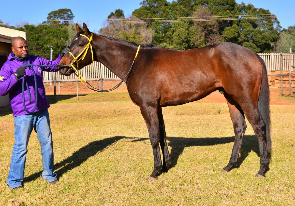 Horse named PHAKA IMALI - profile picture. Owned by the Hollywood Syndicate